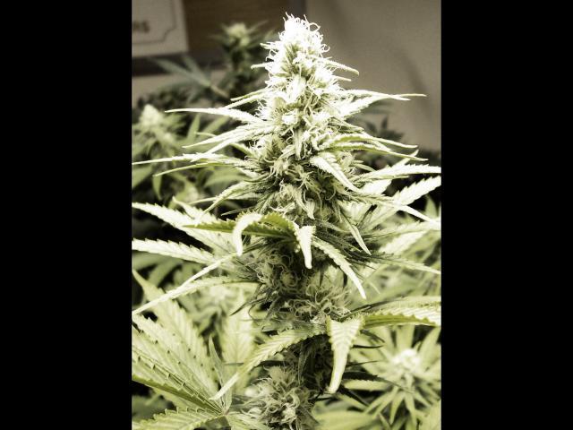 4 weeks flower-Sensitron 4.JPG