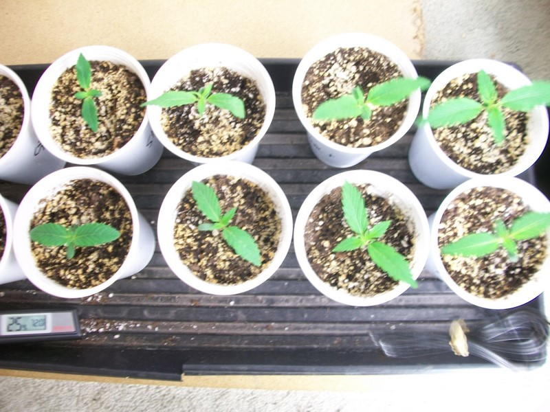 8 days seedlings 001.JPG