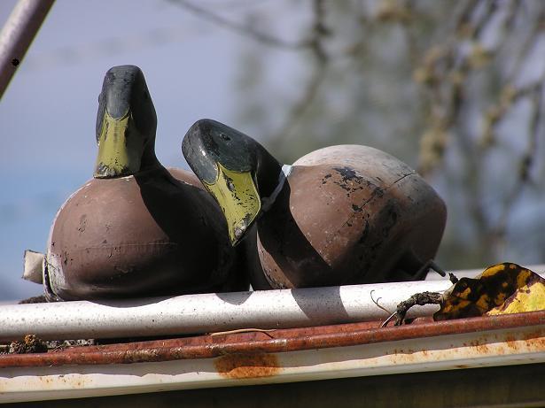 a ducks.JPG