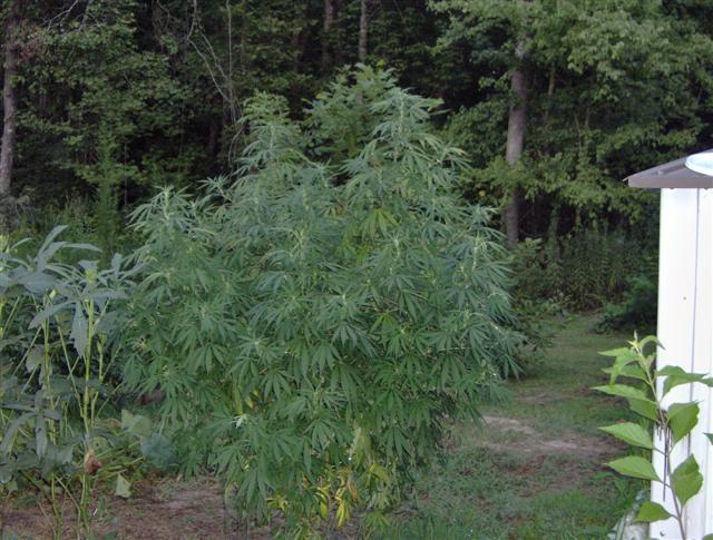Aug 11 2007 Plants 003 (Small).jpg