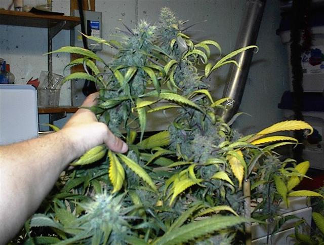 Blueberry 5 Week Bud #1 (Small).jpg