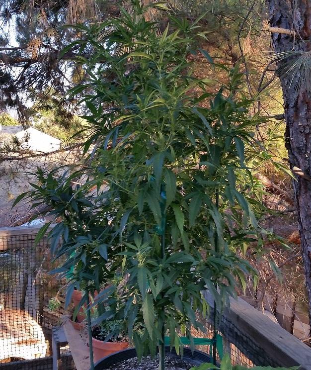 Cannabis 8 29 17.jpg