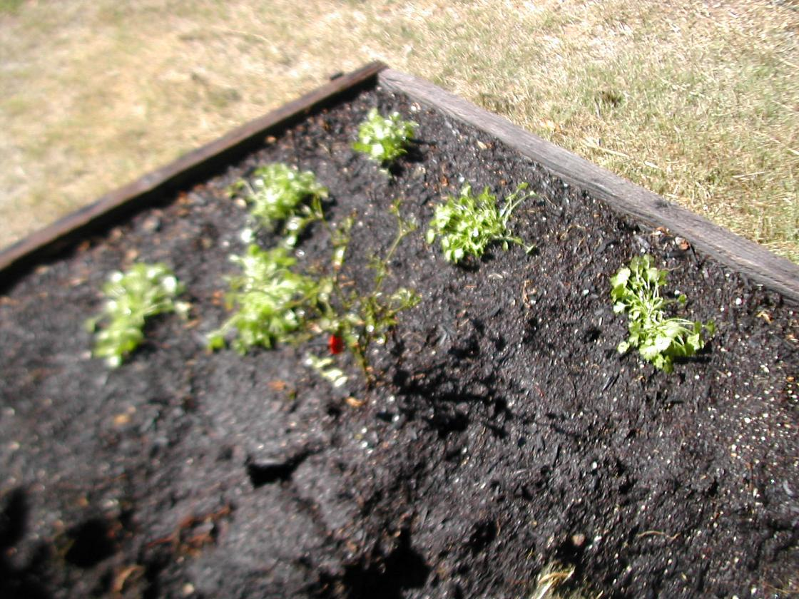 cilantro, onion, brussel sprouts 002.jpg