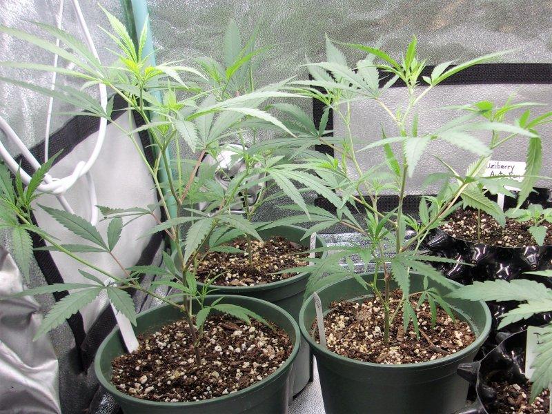 clones in flower.JPG