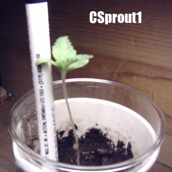 csprout1.jpg
