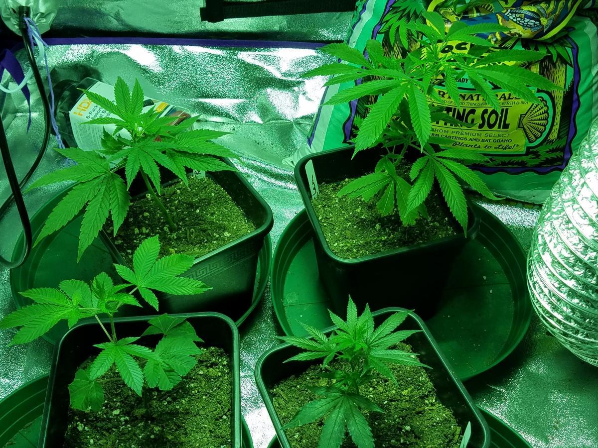 day 8 highworthy first grow multi strain up close.jpg