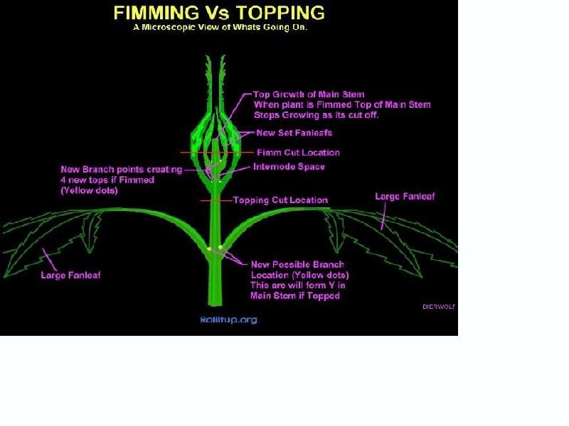how long after topping to flower? | Marijuana Growing Forum
