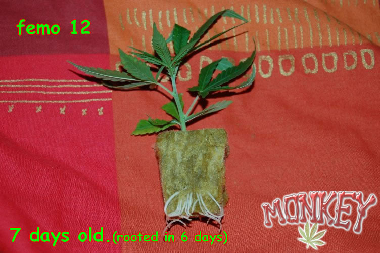 gdp rooted 004.jpg
