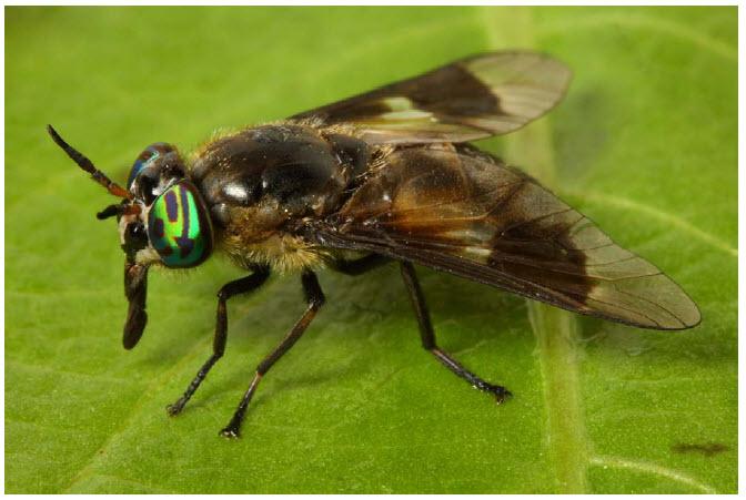 horseflies.jpg