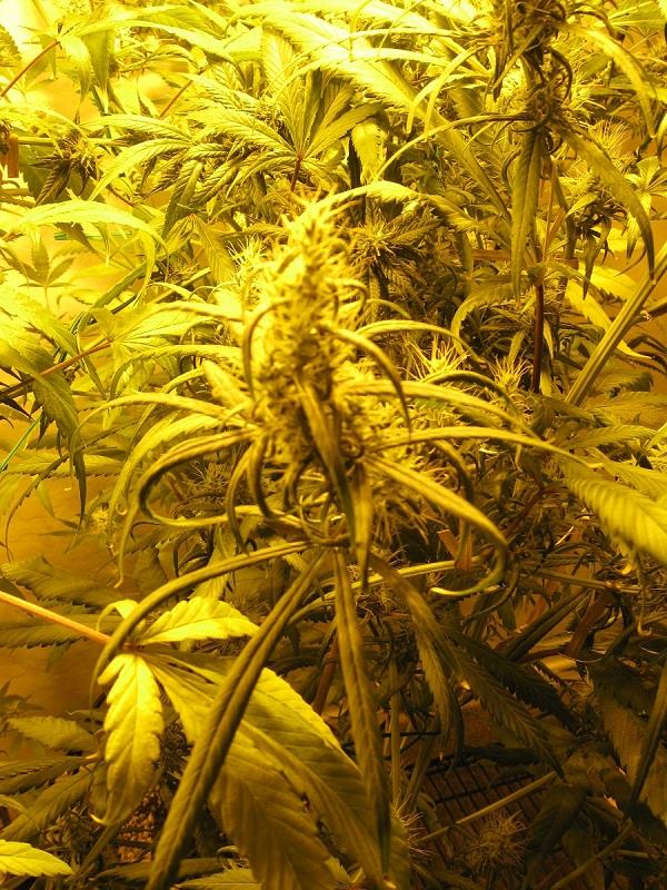 leaf curl3.jpg