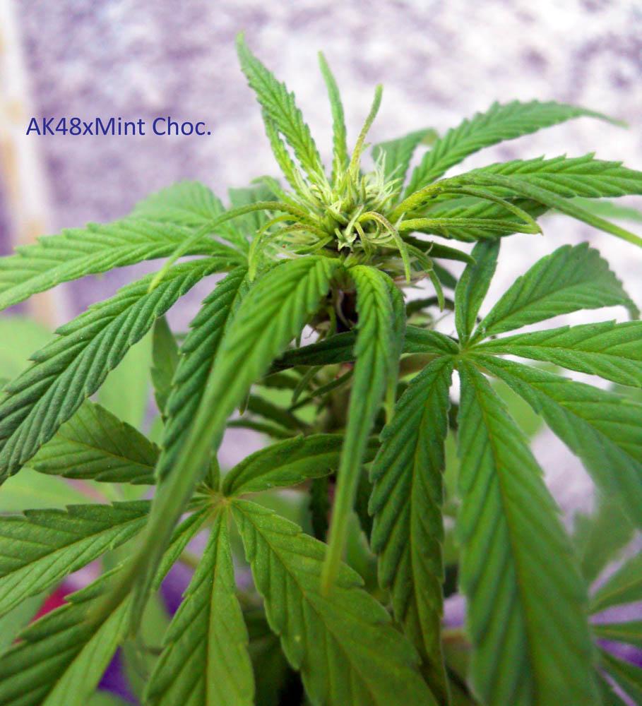 MC-AK48-plant2.jpg