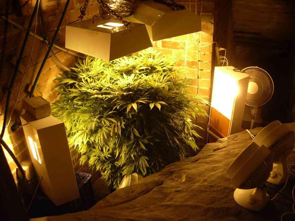 Pics of Durban Poison indoor grow | Marijuana Growing Forum