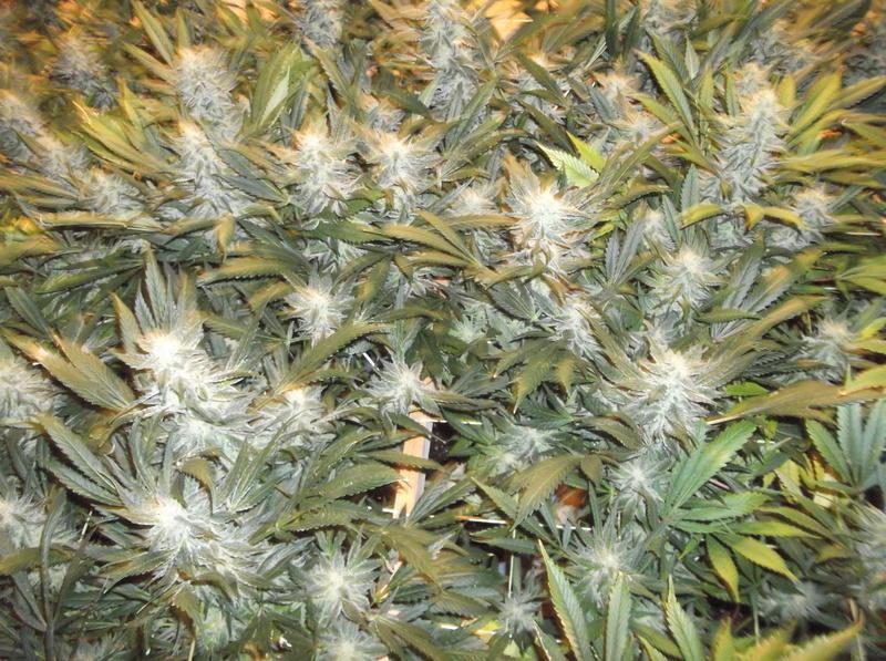 topping vs fimming | Marijuana Growing Forum
