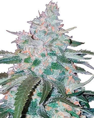 Pineapple-Express-Feminized-Cannabis-Seeds-2.jpg