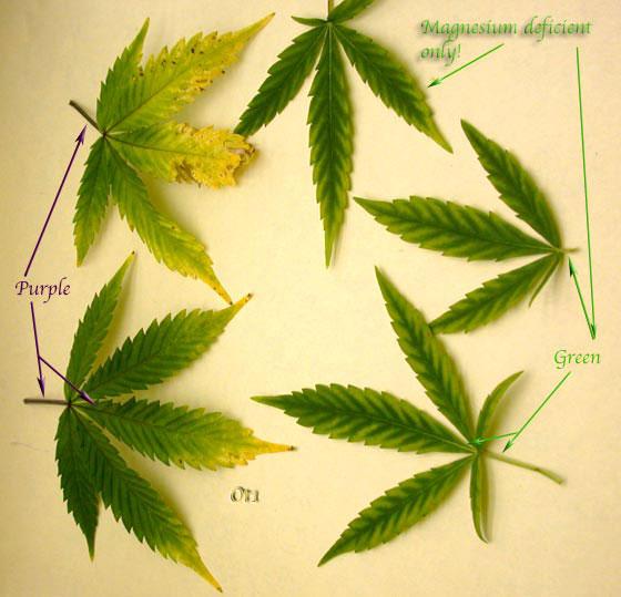 carob molassess for magnesium deficiency | Marijuana Growing