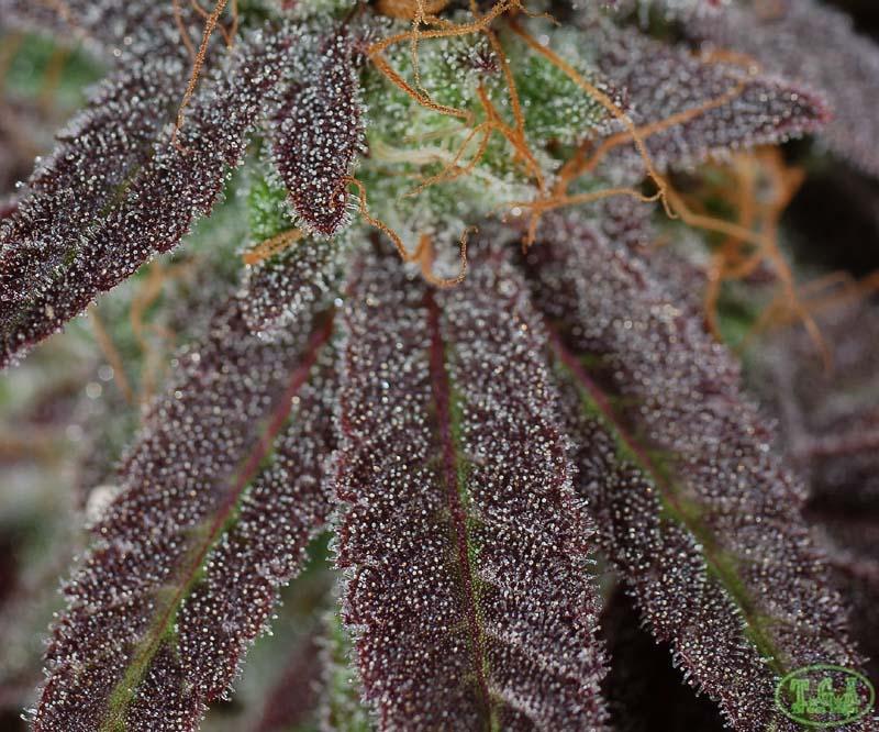 Purplesplits4.jpg