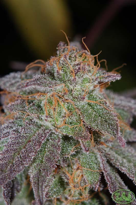 Purplesplits6.jpg