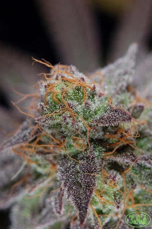 Purplesplitswowwow.jpg
