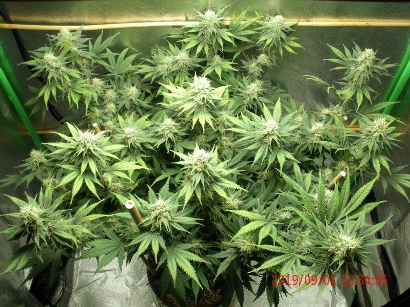 Tangilope grow 40 days B.jpg