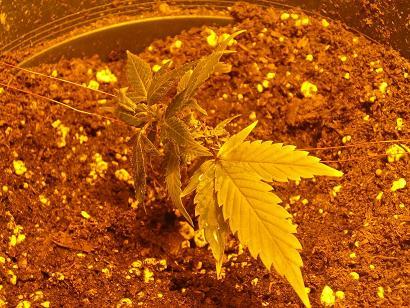 tie plant #1.JPG
