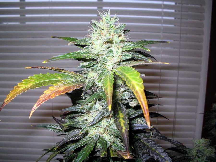 weed3.jpg