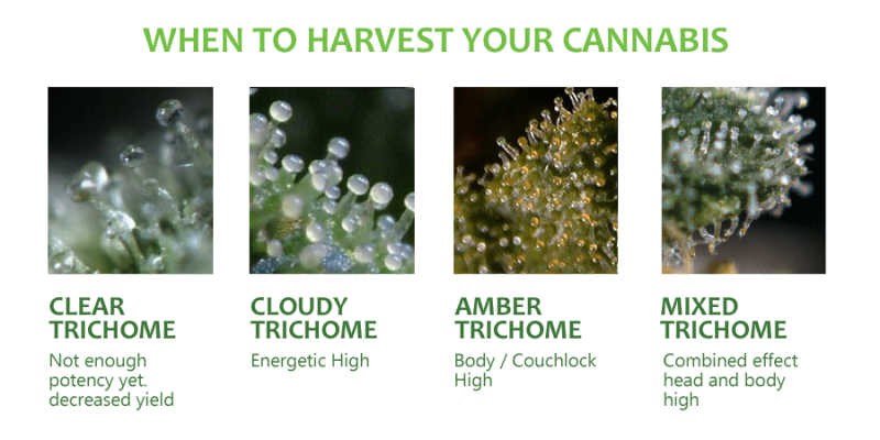 when_to_harvest_cannabis.png